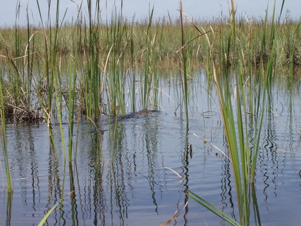 reed_swamp_water_234326