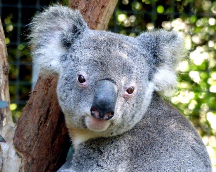 koala-in-australia-
